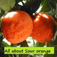 Sour-orange--Citrus--aurantium