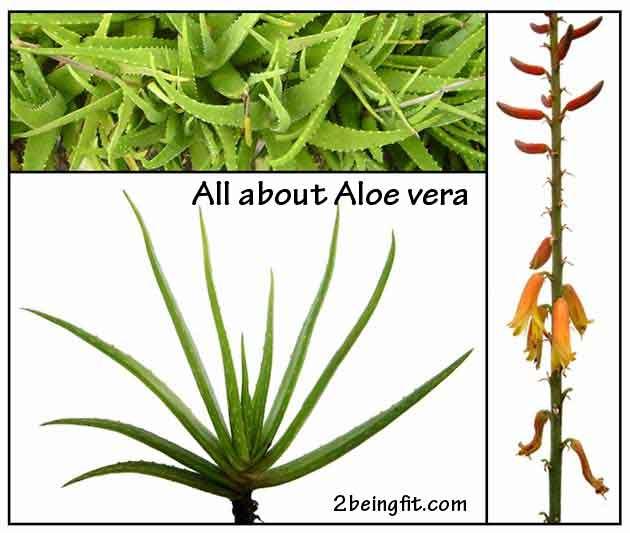 aloe vera  proven health amp beauty benefits uses   2beingfit