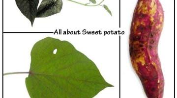 Sweet potato – nutrition, proven benefits, uses
