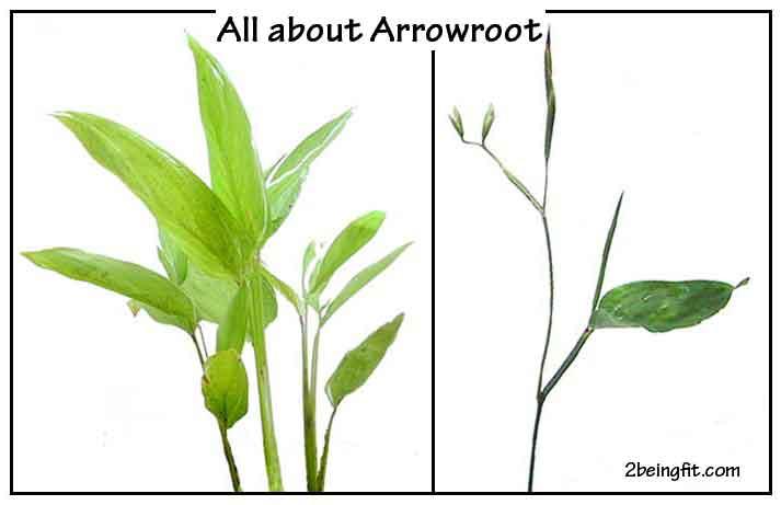 Arrowroot – proven health benefits, uses