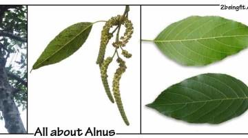 Japanese alnus – proven benefits, uses