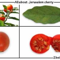 jerusalem-cherry