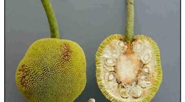 Johey oak – nutrition, proven benefits, uses