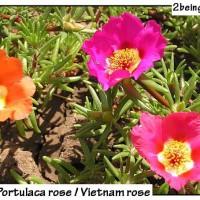 portulaca rose