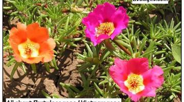 Portulaca rose / vietnam rose – proven benefits, uses