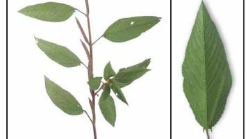 Red jute / bush okra- nutrition, proven benefits, uses