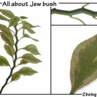jew bush