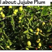 jujube-plum