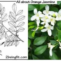 orange-jasmine