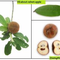 velvet-apple