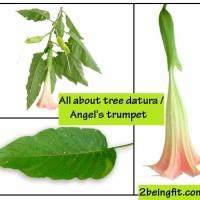 tree datura