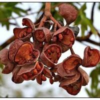 wild almond