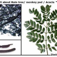 Acacia/ monkey pod/ rain tree