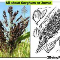 sorghum jowar